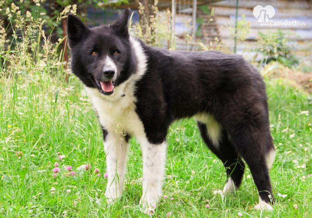 Cane Karelian Bear Dog Carattere Alimentazione Caratteristiche