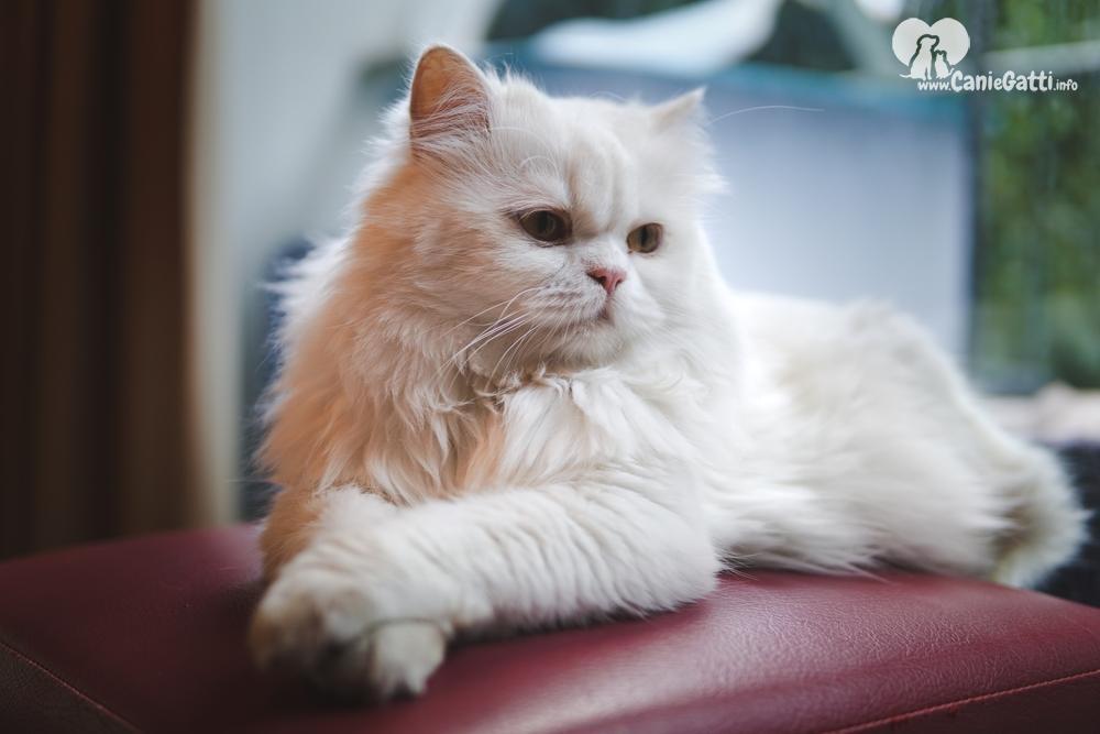 Uno Splendido Gatto Dal Pelo Lungo Querciacb