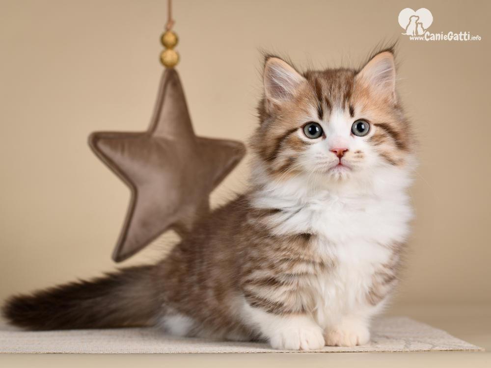 Popolare 5 razze di gatti di piccola taglia: che rimangono piccoli | Da LY06